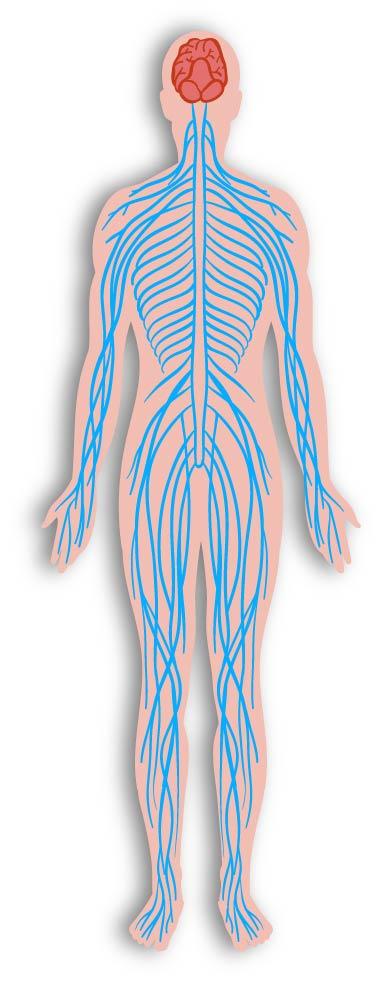 Neurocirugía - Que es el sistema nervioso